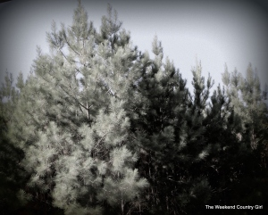pine trees in black and white
