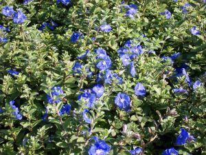 BlueDaze
