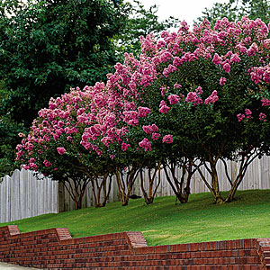 crepe-myrtle-pruning-m
