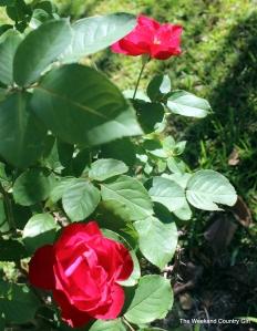 hardy rose